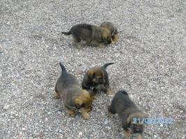 Foto 3 Verkaufe Kaukasen-Mischlinge