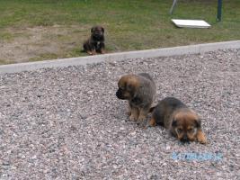 Foto 4 Verkaufe Kaukasen-Mischlinge