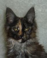 Verkaufe Maine-Coon-Katze Babys mit Papiere