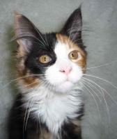 Foto 2 Verkaufe Maine-Coon-Katze Babys mit Papiere