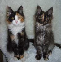 Foto 3 Verkaufe Maine-Coon-Katze Babys mit Papiere