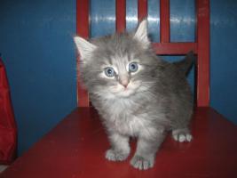Foto 2 Verkaufe Norwegische Waldkatzen