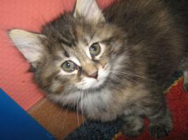 Foto 3 Verkaufe Norwegische Waldkatzen