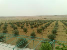 Foto 20 Verkaufe Olivenplantage in Jordanien 55.000qm mit 200 qm Haus