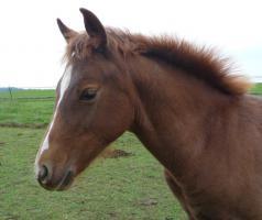 Foto 2 Verkaufe PH-Stallion