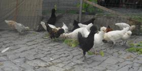 Verkaufe Panduaner-Hähne und Hühner