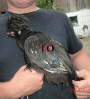 Foto 10 Verkaufe Panduaner-Hähne und Hühner