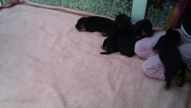 Foto 5 Verkaufe Rottweilerwelpen