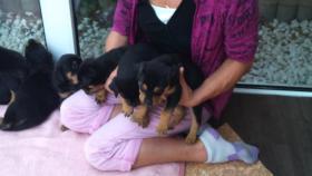 Foto 6 Verkaufe Rottweilerwelpen