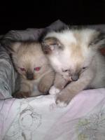 Verkaufe Siam Thai Kitten (alte Rasse) 2 von 4