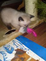 Foto 3 Verkaufe Siam Thai Kitten (alte Rasse) 2 von 4