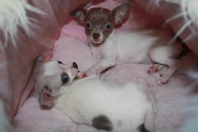 Verkaufe Super Süße Chihuahua
