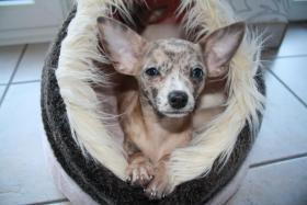 Foto 2 Verkaufe Super Süße Chihuahua