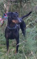 Foto 2 Verkaufe Welpen Manchester Terrier mit Papiere