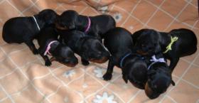 Foto 3 Verkaufe Welpen Manchester Terrier mit Papiere