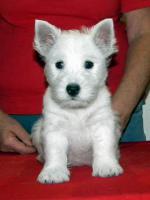 Foto 3 Verkaufe Welpen WHWT - West highland white terrier