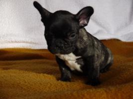 Foto 2 Verkaufe aus Zeitgründen Französiche Buldoge,9 Wochen alt!!!
