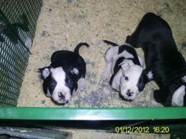 Foto 2 Verkaufe ab sofort 8 reinrassige American Bulldog Welpen