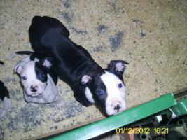 Foto 3 Verkaufe ab sofort 8 reinrassige American Bulldog Welpen