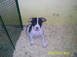 Foto 4 Verkaufe ab sofort 8 reinrassige American Bulldog Welpen