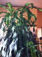 Verkaufe ca. 2,5 Meter gro�e Palme wegen Platz mangel