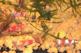 Foto 5 Verkaufe diverse Garnelenarte z.B. Red Bee, Crystal Red und Black, gr�ne Babaulti, Yellow Fire