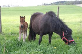 Foto 2 Verkaufe einjährigen Ponyhengst