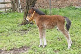 Foto 3 Verkaufe einjährigen Ponyhengst