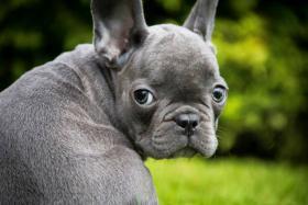 Verkaufe hochwertige Welpen Mops und Französische Bulldogge