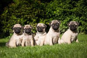 Foto 2 Verkaufe hochwertige Welpen Mops und Französische Bulldogge