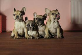 Foto 3 Verkaufe hochwertige Welpen Mops und Französische Bulldogge