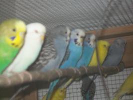Verkaufe junge Wellensittiche, viele verschiedene Farben und neues Vogelzubehör