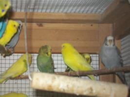 Foto 2 Verkaufe junge Wellensittiche, viele verschiedene Farben und neues Vogelzubehör