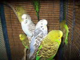 Foto 3 Verkaufe junge Wellensittiche, viele verschiedene Farben und neues Vogelzubehör