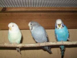 Foto 4 Verkaufe junge Wellensittiche, viele verschiedene Farben und neues Vogelzubehör