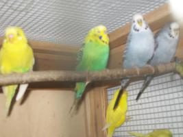 Foto 5 Verkaufe junge Wellensittiche, viele verschiedene Farben und neues Vogelzubehör