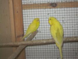 Foto 6 Verkaufe junge Wellensittiche, viele verschiedene Farben und neues Vogelzubehör