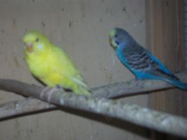 Foto 8 Verkaufe junge Wellensittiche, viele verschiedene Farben und neues Vogelzubehör