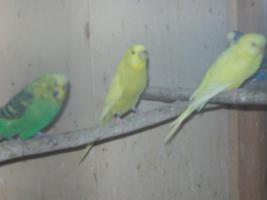 Foto 9 Verkaufe junge Wellensittiche, viele verschiedene Farben und neues Vogelzubehör