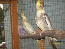 Verkaufe junge gescheckte Nymphensittiche und neues Vogelzubehör