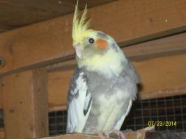 Foto 4 Verkaufe junge gescheckte Nymphensittiche und neues Vogelzubehör