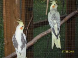 Foto 5 Verkaufe junge gescheckte Nymphensittiche und neues Vogelzubehör