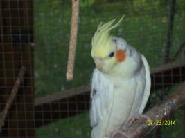Foto 6 Verkaufe junge gescheckte Nymphensittiche und neues Vogelzubehör