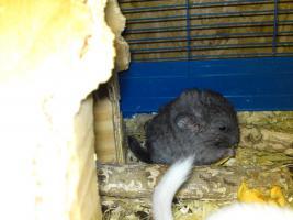 Foto 3 Verkaufe kleine s��e Chinchillababys