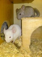 Foto 4 Verkaufe kleine süße Chinchillababys
