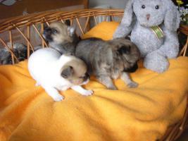 Verkaufe schöne Welpen Chihuahua