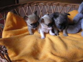 Foto 3 Verkaufe schöne Welpen Chihuahua