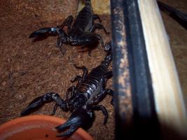 Verkaufe/ Tausche verschiedene Skorpione