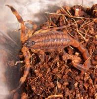 Foto 2 Verkaufe/ Tausche verschiedene Skorpione