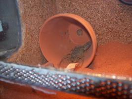 Foto 4 Verkaufe/ Tausche verschiedene Skorpione